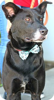 Labrador Retriever Mix Dog for adoption in South El Monte, California - Dexter