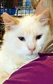 Balinese Cat for adoption in Lyons, Illinois - Marshmallow