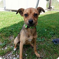 Adopt A Pet :: SUGAR - Cadiz, OH