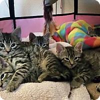 Adopt A Pet :: Tiger kittens (4) at LBHS - Island Park, NY