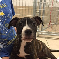 Pit Bull Terrier Mix Puppy for adoption in Sonora, California - CHELSEA