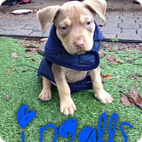 Dogue de Bordeaux/Pit Bull Terrier Mix Puppy for adoption in Garden City, Michigan - Ingalls