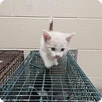 Domestic Shorthair Kitten for adoption in Pikeville, Kentucky - Reynolds