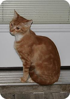 Domestic Shorthair Cat for adoption in Sugarland, Texas - Lucy