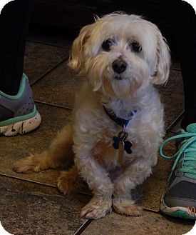 Maltese Dog for adoption in Williamsport, Maryland - Oscar(10 lb) Sweetest Ever!
