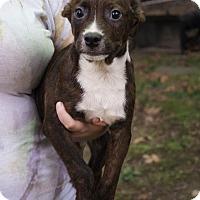 Adopt A Pet :: Grant - Albany, NY