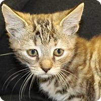Domestic Shorthair Kitten for adoption in Waynesboro, Pennsylvania - Pollyanna