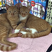Domestic Shorthair Kitten for adoption in College Station, Texas - Blaze