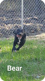 Labrador Retriever Mix Dog for adoption in Henderson, North Carolina - Bear*