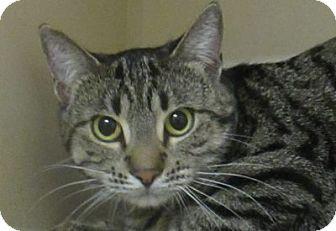 Domestic Shorthair Cat for adoption in Lloydminster, Alberta - Hawaii