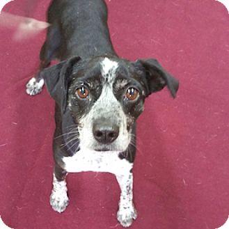 Boston Terrier/Beagle Mix Dog for adoption in Shreveport, Louisiana - Dixie