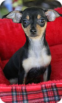 Chihuahua/Terrier (Unknown Type, Small) Mix Puppy for adoption in Yuba City, California - Merry