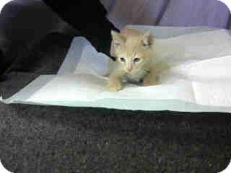 Domestic Shorthair Kitten for adoption in San Bernardino, California - URGENT on 12/2 at DEVORE