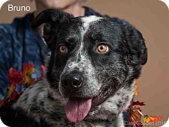 Australian Cattle Dog Mix Dog for adoption in Santa Fe, New Mexico - BRUNO