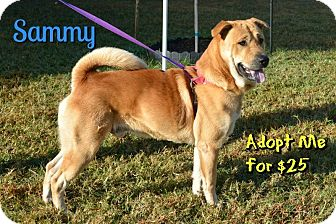 Retriever (Unknown Type) Mix Dog for adoption in Sarasota, Florida - Sammy