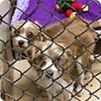 Adopt A Pet :: HARRY the PUPPY - Pleasanton, CA