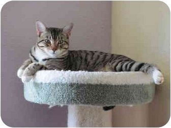 Domestic Shorthair Cat for adoption in Austin, Texas - Cooper