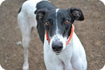 Greyhound Dog for adoption in Chagrin Falls, Ohio - Frankie (FTK Cobra Clutch)