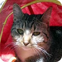 Domestic Shorthair Cat for adoption in Phoenix, Arizona - MJ