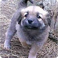 Adopt A Pet :: DIGGER - dewey, AZ