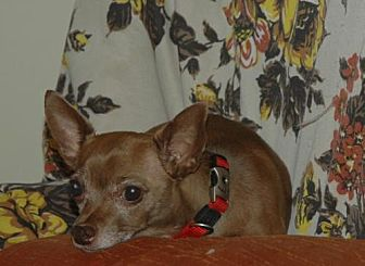Terrier (Unknown Type, Medium)/Chihuahua Mix Dog for adoption in Santa Clarita, California - CoCo