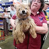 Australian Terrier Mix Dog for adoption in Antioch, California - Romeo