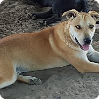Adopt A Pet :: Nala - West Hartford, CT