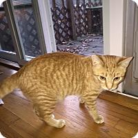 Adopt A Pet :: Tango - Bentonville, AR