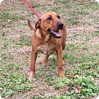 Adopt A Pet :: Thunder (Pom-ec) - Brattleboro, VT