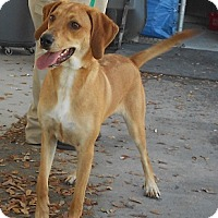 Adopt A Pet :: GINGER - Orange Park, FL