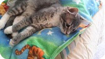 Domestic Shorthair Cat for adoption in La Canada Flintridge, California - Myles