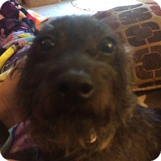 Dachshund/Schnauzer (Miniature) Mix Dog for adoption in Raritan, New Jersey - Lola