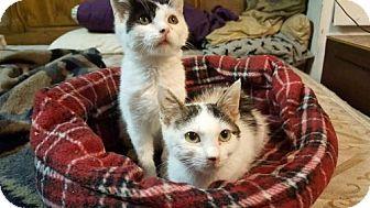 Turkish Van Cat for adoption in Yucca Valley, California - Domino and Starlight