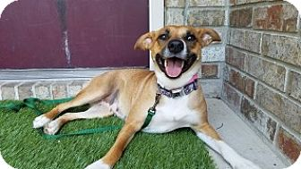 Shepherd (Unknown Type) Mix Dog for adoption in Joplin, Missouri - Beethoven 110231