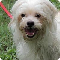 Shih Tzu/Terrier (Unknown Type, Medium) Mix Dog for adoption in Salem, New Hampshire - TRIXIE