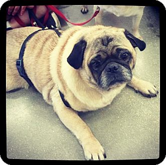 Pug Mix Dog for adoption in Grand Bay, Alabama - Pugsley