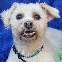 Bichon Frise Dog for adoption in Cuba, New York - Casper