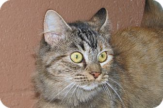 Domestic Mediumhair Cat for adoption in Ruidoso, New Mexico - Eris
