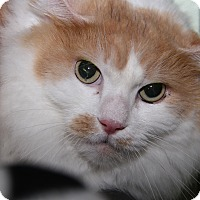 Domestic Mediumhair Cat for adoption in Marietta, Ohio - Butterscotch (Neutered)