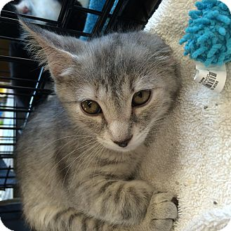 Domestic Shorthair Kitten for adoption in Washington, D.C. - Pearl