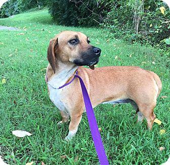 Beagle/Dachshund Mix Dog for adoption in Allentown, Pennsylvania - Bessie (Reduced Fee)