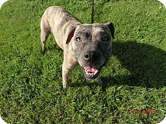 American Bulldog Mix Dog for adoption in Columbia, Tennessee - Isabella