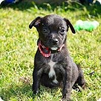 Adopt A Pet :: Maddie - Aubrey, TX