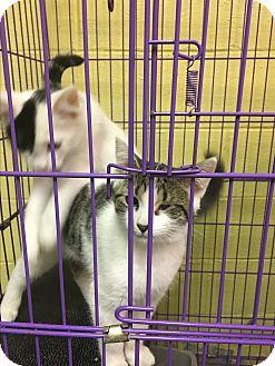 Domestic Shorthair Kitten for adoption in Richboro, Pennsylvania - Freckles