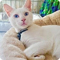 Adopt A Pet :: Casper, Amazing, Blue-Eyed Beauty - Brooklyn, NY