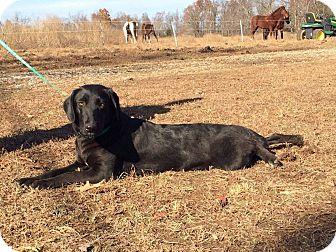 Labrador Retriever/Border Collie Mix Dog for adoption in PRINCETON, Kentucky - JIJI-1