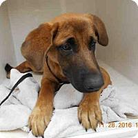 Adopt A Pet :: SABLE - Tavares, FL