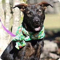 Adopt A Pet :: Brodie - SOUTHINGTON, CT