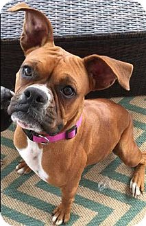 Boxer Dog for adoption in Wilmington, North Carolina - Juno