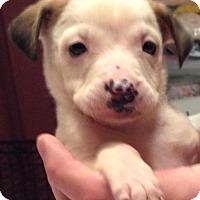 Adopt A Pet :: Rosie - Boston, MA